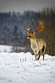 Fallow Deer In Winter Snow Field