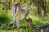 White-tailed Deer (odocoileus Virginianus) Sniffs Behind Fawn's Ears