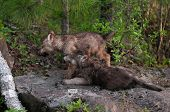 Two Grey Wolf (canis Lupus) Pups Look Left