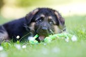 foto of alsatian  - Six week old pedigree german shepherd puppy outdoors on a sunny day - JPG