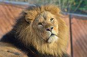 Lion looking back towards camera