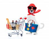 foto of diva  - crazy and silly jack russell dog diva lady with bag pushing full of products supermarket cart isolated on white background - JPG