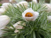 pic of pubescent  - Blooming Pulsatilla after rain on a cloudy day - JPG