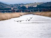 picture of oasis  - Cormorants are flying over water while fishing in a canal of a natural oasis - JPG