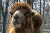 image of hump  - Bactrian or two-humped camel (Camelus bactrianus) portrait