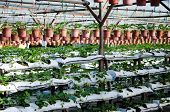 image of strawberry plant  - Photo of Potted plants on a strawberry farm - JPG