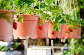 picture of strawberry plant  - Photo of Potted plants on a strawberry farm - JPG