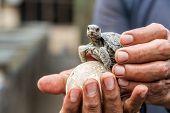 foto of tortoise  - Baby tortoise on Isabela Island in the Galapagos Islands in Ecuador - JPG