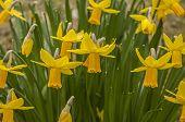 pic of jonquils  - It is image of spring awakening plants - JPG