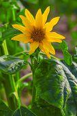 image of sunflower  - Sunflower - JPG