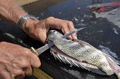 image of fish skin  - A sheepshead fish is being filleted on a cleaning bench - JPG