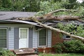 stock photo of impaler  - A fallen white oak tree impales a house - JPG