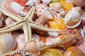 foto of scallop shell  - nice shells - JPG
