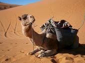 Постер, плакат: Caravan Camel