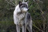 Dominant Male Grey Wolf
