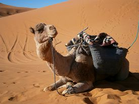 picture of caravan  - A camel from a Moroccan caravan waiting for the caravan to leave - JPG
