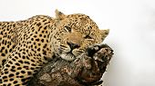 Detail Of A Resting Leopard On A Tree