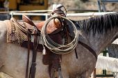 pic of brahma-bull  - a apple gray horse with saddle and ropes.