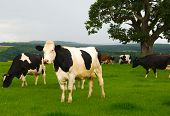 Dairy cows in a lush green field