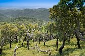 Cork Trees (Quercus Suber) in the Monchique mountains, Portugal - the bark is harvested for making wine bottle corks