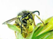 Yellow Wasp On A Few Green Leaves
