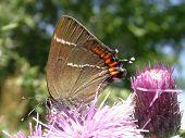 White-letter Hairstreak Butterfly 01