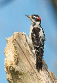 Downy Woodpecker, Eudocimus Albus