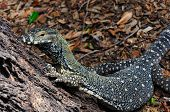 Lace Monitor (Lace Goanna) (Varanus varius) Lizard,  Full Body, Crawling Up a Tree Trunk