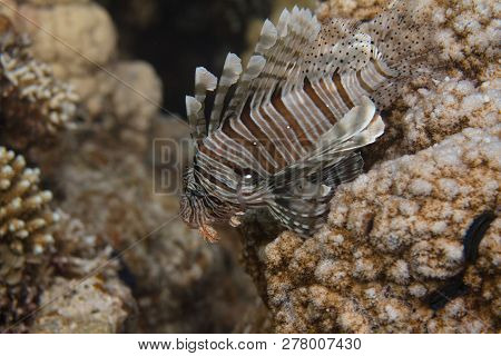 Common Lionfish On Coral Reef