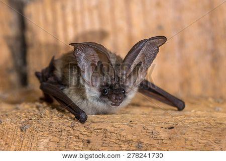 poster of Grey Long-eared Bat (plecotus Austriacus) Is A Fairly Large European Bat. It Has Distinctive Ears, L