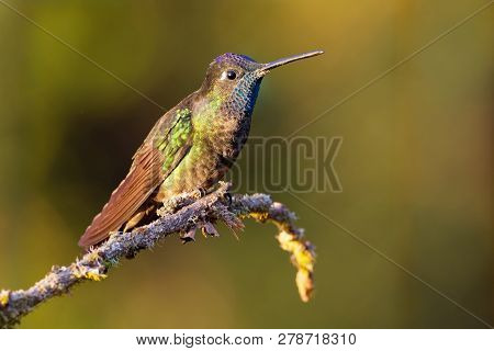 Talamanca admirable Hummingbird Eugenes Spectabilis