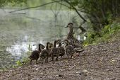 A Wild Mama Duck Gathers Together Her Clutch Of Fuzzy Young Ducklings By A Scenic Lake poster