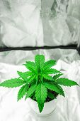 Cultivation Growing Under Led Light. Vegetation Of Cannabis Growing. Marijuana In Grow Box  Tent. Cl poster