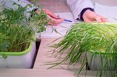 The Hands Of A Laboratory Technician Inspect Wheat And Lentil Sprouts. Hydroponics. The Method Of Gr poster