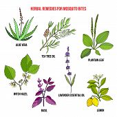 Best Herbal Remedies For Mosquito Bites. Hand Drawn Vector Set Of Medicinal Plants poster