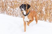 Brown Pedigreed Dog Walking On The Snowy Field. Boxer. Beautiful Hunter Dog poster