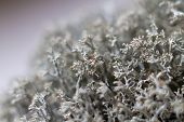 Macro Shot. Dry Gray Forest Moss. Selective Focus. Lichen Stabilized Dried For Landscape Design Moss poster