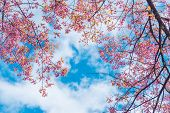 Pink Blossoms On The Branch During Spring Blooming At Doi Ang Khang. Branch With Pink Sakura Blossom poster
