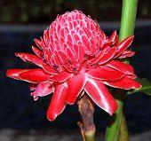 Etlingera Elatior Also Known As Torch Ginger, Ginger Flower, Red Ginger Lily, Torch Lily, Wild Ginge poster