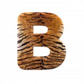Tiger letter B - large 3d Feline fur font isolated on white background. This alphabet is perfect for poster