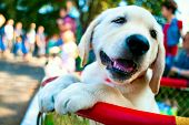 Yellow Labrador Puppy . Boys Playing With Labrador Puppies . Entertainment For Children poster