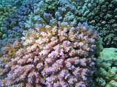 Colorful Coral Reef At The Bottom Of Tropical Sea, Pink Hard Coral Acropora, Underwater Landscape poster