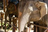 Elephant Asia In The Elephant Show At Park Selective Focus Head Elephant poster