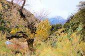 Cottonwood Tree Changing Colors During Autumn Besides A Creek At A Riparian Woodland Where Desert Te poster