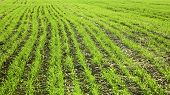 Campo de trigo sembrado en otoño