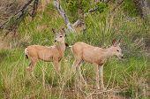 Mule Deer (Odocileus hemionus) In Grasses