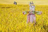 foto of hanbok  - Scarecrow on the rice field during Chuseok korean traditional holiday - JPG