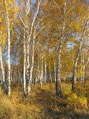Path in a gold birch grove. Autumn landscape.