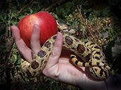 image of garden snake  - Conceptual photo depicting Eve grasping the forbidden fruit in Eden - JPG