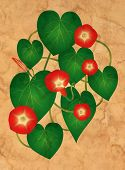 stock photo of ipomoea  - Ipomoea flowers on the old grungy paper - JPG
